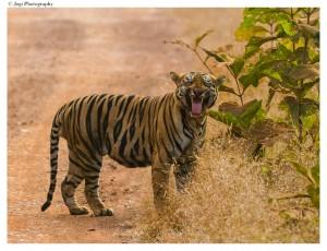 tigers kingdom