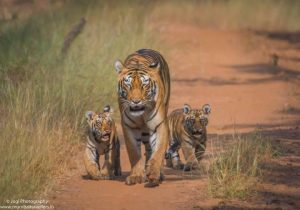 tadoba-wildlife-safari