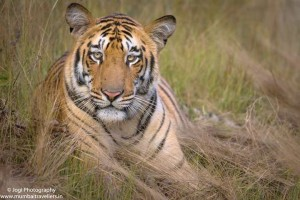 Tiger Sighting at Tadoba Andhari Tiger Reserve