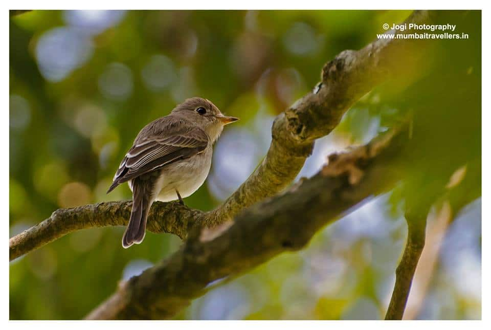 asian brown flycathcher