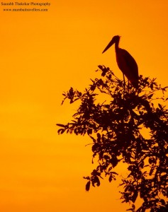 lesser adjutant strok at tadoba wildlife national