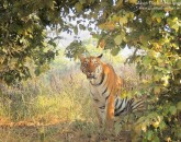 tadoba tiger wildlife safari
