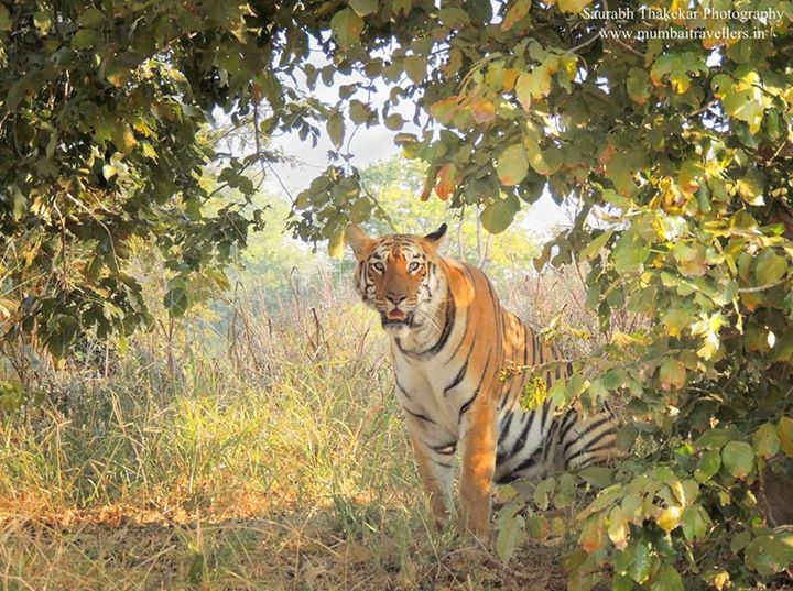 wildlife tiger and national park It is rare to spot an amur tiger (panthera tigris altaica) in the wild, according to  yang jun, director of the hunchun forestry bureau's wildlife.