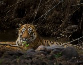tiger sighting at tadoba wildlife safari