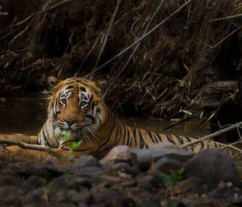 tiger sighting at tadoba wildlife safari