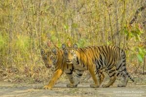 tigers in tadoba andhari tiger reserve