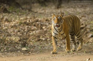 tigress noor in tadoba andhari tiger reserve