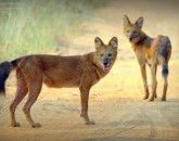 wild dogs sighting at tadoba