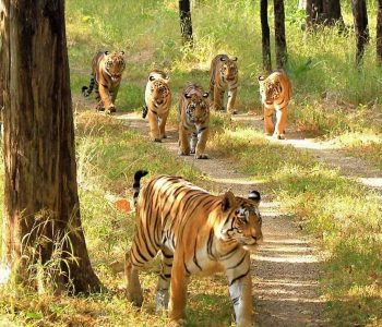 Scarface_Madhuri-and-their-four-cubs