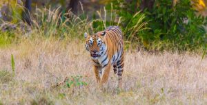 8 TIPS TO HELP YOU PLAN YOUR NEXT TADOBA WILDLIFE SAFARI