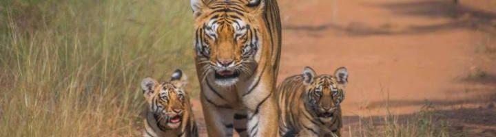 tadoba-wildlife-safari