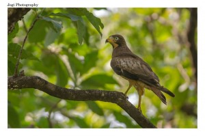 WHITE EYED BUZZARD