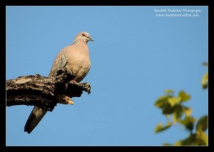 bird spotted dove in tadoba andhari tiger reserve