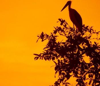 lesser adjutant strok at tadoba wildlife national