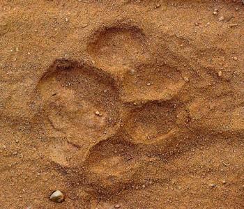 pugmarks of tigers in tadoba andhari tiger reserve