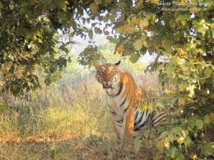 tadoba tiger wildlife safari