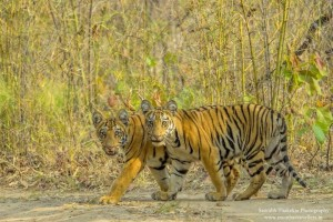tigers in tadoba andhari tiger reserve