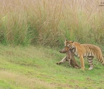 tiger's kill in tadoba