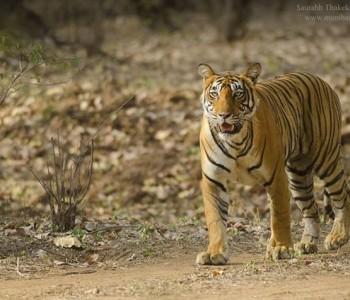 tigress noor in tadoba andhari tiger reserve