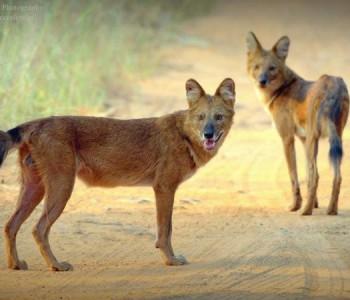 wild dogs sighting at tadoba