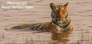 Photograph Royal Bengal Tigers