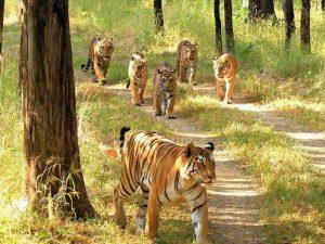 Scarface_Madhuri-and-their-four-cubs